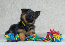 German long haired Shepherd puppies 2 months old . German long haired Shepherd puppies 2 months old with toy Stock Images