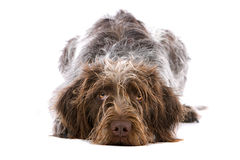German Longhair Pointer Stock Image