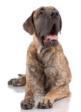 German mastiff Stock Images