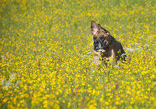 German mastiff # 4 Royalty Free Stock Photography