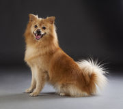 German medium spitz dog. Portrait in studio Royalty Free Stock Photography