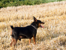 German miniature Pinscher. The German Pinscher dwarf the stubble hunt Stock Photography