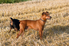 German miniature Pinscher. The German Pinscher dwarf the stubble hunt Royalty Free Stock Photo