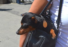German miniature pinscher pet dog sitting in its owner`s handbag on a busy city street. German dwarf pinscher pet dog sitting in its owner`s handbag on a busy Royalty Free Stock Photo