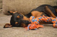 German miniature pinscher pet dog sleeping on a sofa with its toy. German dwarf pinscher pet dog on a sofa with its toy Stock Photo