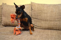 German miniature pinscher pet dog on a sofa with its toy. German dwarf pinscher pet dog on a sofa with its toy Royalty Free Stock Image