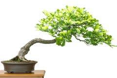German oak (Quercus robur) as bonsai tree. White isolated German oak (Quercus robur) as bonsai tree Stock Photography