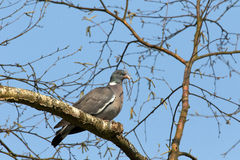 German pigeon Royalty Free Stock Images