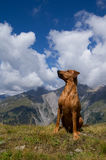 German Pinscher in alpine landscape Royalty Free Stock Photography