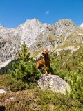 German Pinscher in the Austrian Alps. A purebred red German Pinscher dog posing in front of the impressive panorama of the Ohrenspitzen mountain range at the Royalty Free Stock Images