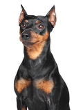 German Pinscher. Close-up portrait on isolated white background Stock Image