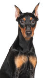 German pinscher. Close-up portrait on isolated white background Royalty Free Stock Photo