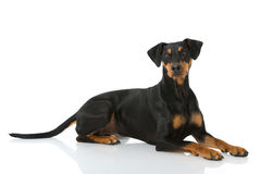 Free German Pinscher Dog Stock Photo - 41663530