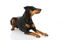 German pinscher dog Stock Photography