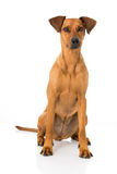 German pinscher dog Royalty Free Stock Images