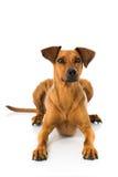 German pinscher dog Stock Images