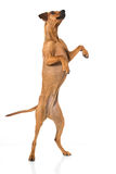 German pinscher dog Stock Image