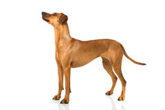 German pinscher dog Royalty Free Stock Photos