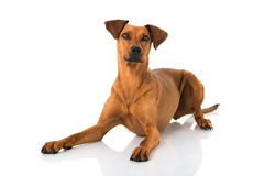 German pinscher dog Stock Photo