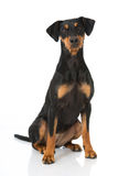 German pinscher dog Stock Photos