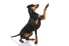 German pinscher dog Royalty Free Stock Image
