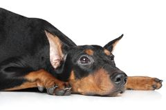 German pinscher. Lies and waits for his owner Royalty Free Stock Photography
