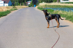 German pinscher. With long towline Stock Photos