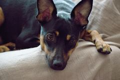 The German Pinscher stock photo