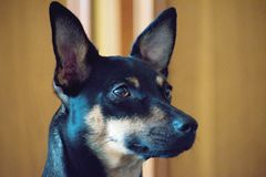 The German Pinscher. Is a medium-sized breed of dog Royalty Free Stock Photography