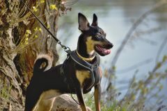 The German Pinscher royalty free stock photos