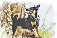 The German Pinscher royalty free stock photo