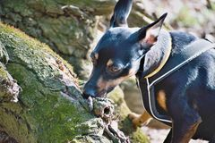 The German Pinscher stock images