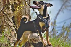 The German Pinscher stock photography
