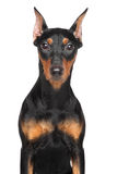 German pinscher. Portrait of a German pinscher on isolated white background Royalty Free Stock Photos