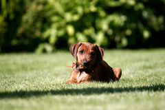 German pinscher puppy. A portrait of a german pinscher puppy laying down eating grass Stock Image