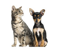 German Pinscher puppy , 2 months old and a cat. Isolated on white Stock Images