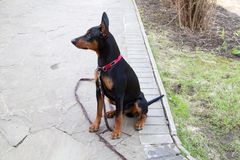 German Pinscher raised his ears and sits on a leash on a stone p. Aved garden path Stock Photos