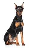 German pinscher. Sitting on a white background Stock Photo