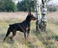 Tan-and-black German Pinscher. German Pinscher standing on a autumn backgraund Royalty Free Stock Photo