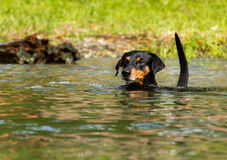 German Pinscher swiming. A beautiful senior black and tan German Pinscher dog swiming gracefully with an alert expression in lake Constance on a sunny summer day Royalty Free Stock Photography