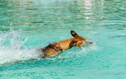 German Pinscher swimming in pool. Close up of an energetic young purebred red German Pinscher dog swimming at high speed in a public swimming pool on a sunny Royalty Free Stock Photo