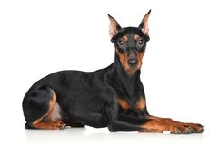 German pinscher Royalty Free Stock Image