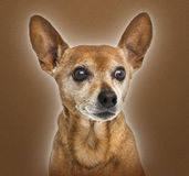 German pinscher, 13 years old, Stock Images