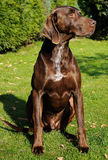 German pointer Stock Image