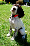German Pointer Royalty Free Stock Images