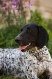 German pointer Royalty Free Stock Image