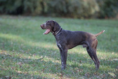 German pointer dog Royalty Free Stock Images