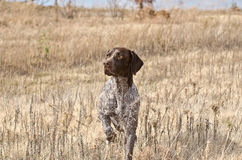 German Pointer on point Stock Photography