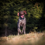 German Pointer at runtime Royalty Free Stock Photos