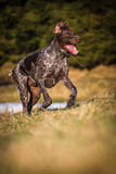 German Pointer at runtime Stock Photo